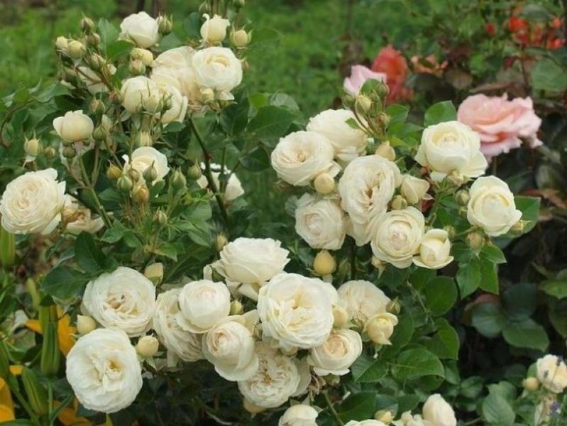 Правильная подкормка для роз