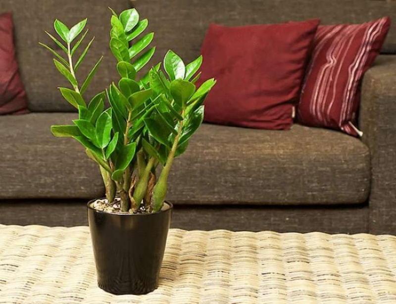 Красавец замиокулькас: 10 причин завести это растение в доме