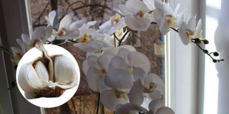 Чеснок — спасение для орхидей! Через месяц мой фаленопсис выпустил несколько цветоносов