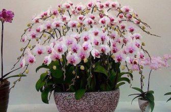 Простая, но действенная вкуснятина для шикарного цветения орхидей