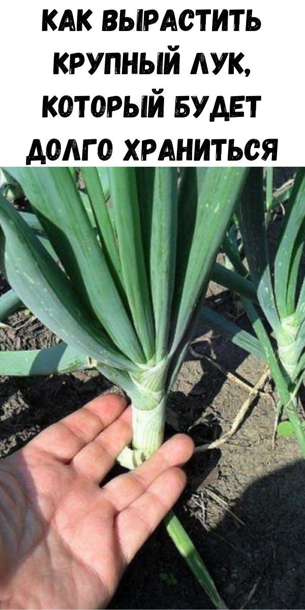 Как вырастить крупный лук, который будет долго храниться