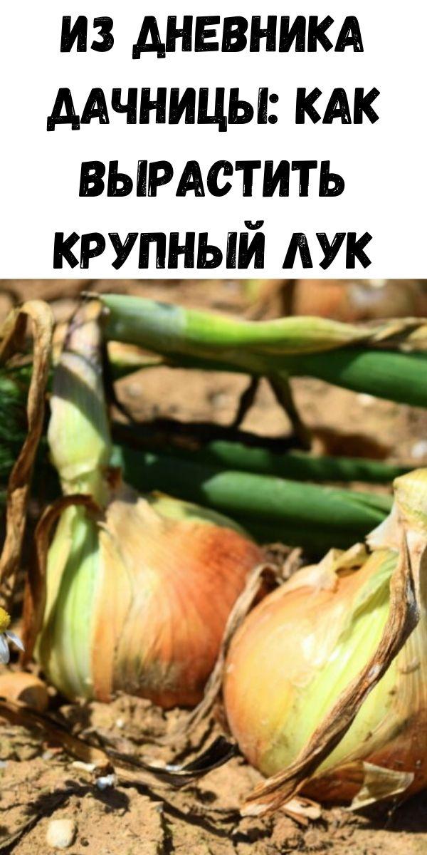 Из дневника дачницы: Как вырастить крупный лук