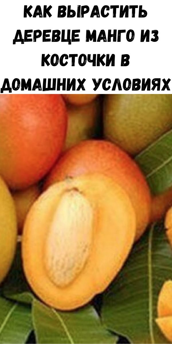 Как вырастить деревце манго из косточки в домашних условиях