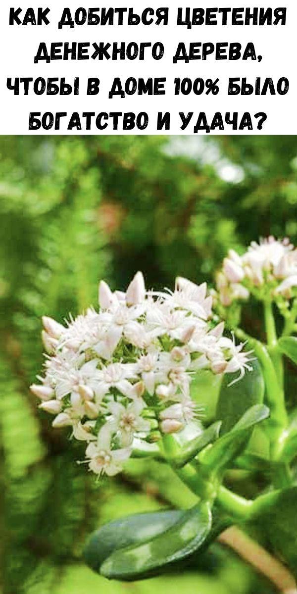 Как добиться цветения денежного дерева, чтобы в доме 100% было богатство и удача?