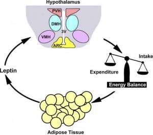 Лептин — главный гормон и регулятор энергетического обмена, часть 1.
